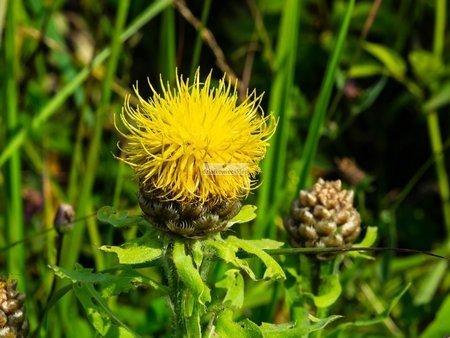 Chaber wielkogłówkowy (1 szt.) (Centaurea Macrocephalla)