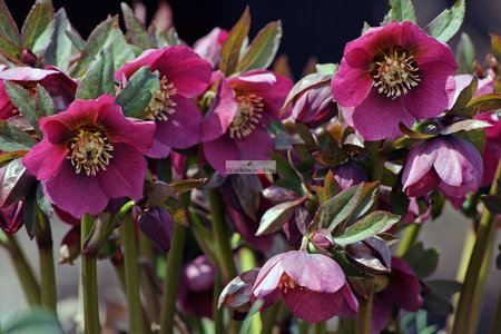 Ciemiernik 'HGC ® Ice N' Roses Early Red'  (Helleborus)