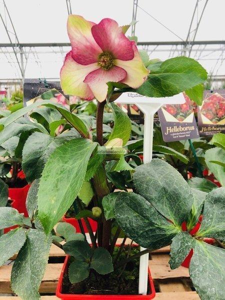 Ciemiernik 'HGC ® Ice N' Roses Rosado'  (Helleborus 'HGC ® Ice N' Roses Rosado')