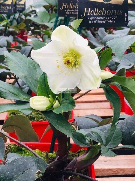 Ciemiernik 'HGC ® Ice N' Roses White' (Helleborus)