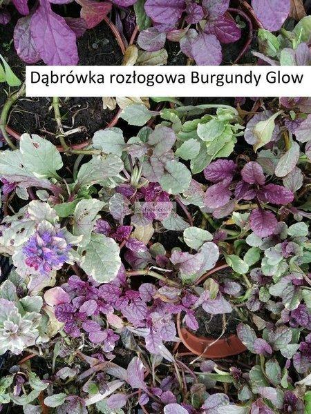 Dąbrówka rozłogowa Burgundy Glow (1szt.)