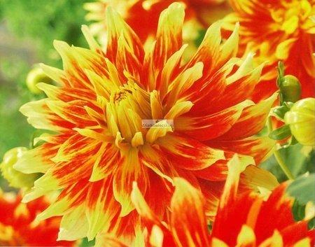 Dalia dekoracyjna Bodacious (1 szt.) (dahlia)
