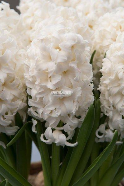 Hiacynt Carnegie (5 szt.) (Hyacinthus)