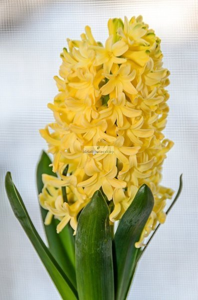 Hiacynt Gipsy Princess (5 szt.) (Hyacinthus)