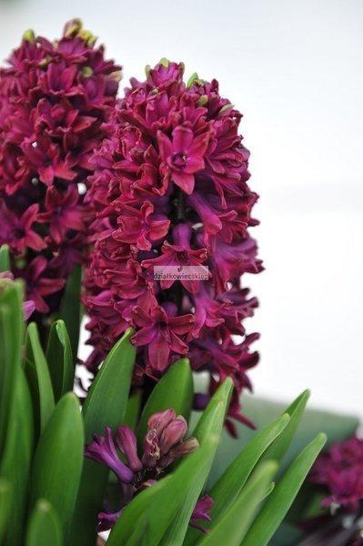 Hiacynt Woodstock (5 szt.) (Hyacinthus)