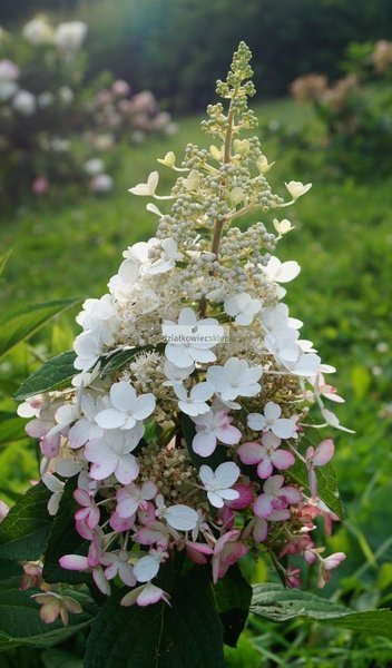 Hortensja bukietowa Early Harry PBR® (Hydrangea paniculata Early Harry PBR®)