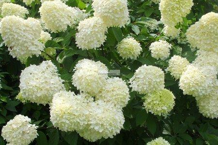 Hortensja bukietowa Limelight PBR® 1 (Hydrangea paniculata)