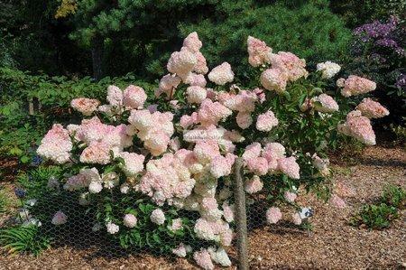 Hortensja bukietowa Magical Sweet Summer (Hydrangea paniculata)