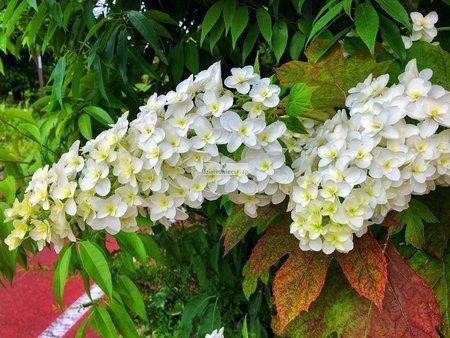 Hortensja dębolistna Snow Giant (Hydrangea quercifolia)