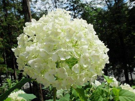 Hortensja krzewiasta Anabelle (Hydrangea arborescens)