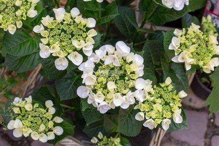 Hortensja pnąca (Hydrangea anomalasubsp.petiolaris)