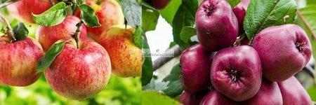 Jabłoń -  2 odmiany! (Malinowa Oberlandzka+Titówka)