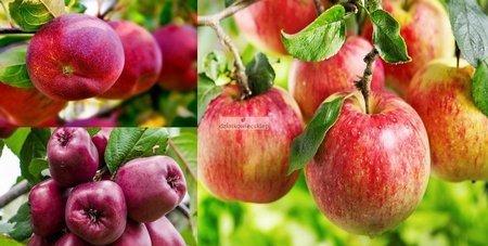 Jabłoń -  3 odmiany! (Titówka+Malinowa Oberlandzka+Lobo)