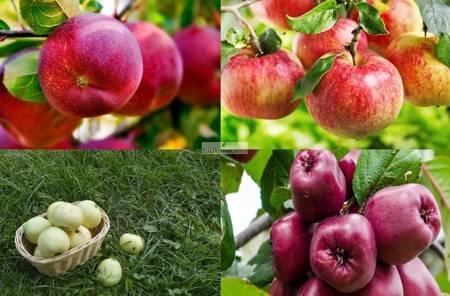 Jabłoń -  4 odmiany! (Oliwka Żółta+Lobo+Malinowa Oberlandzka+Titówka)