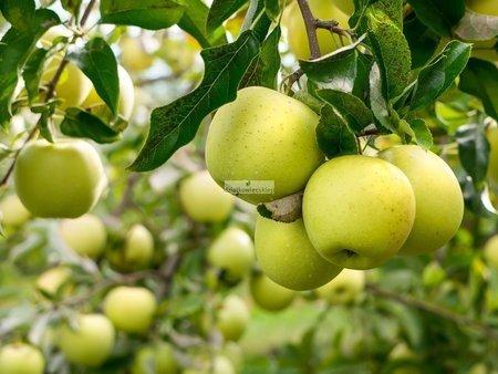 Jabłoń Kosztela (goły korzeń)