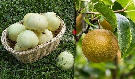 Jabłoń - jedno drzewko 2 odmiany (Oliwka Żółta + Szara Reneta) - seledynowe i jasno zielone owoce