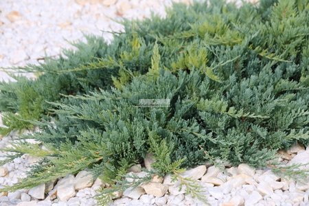 Jałowiec płożący Blue Chip (Juniperus horizontalis Blue Chip)