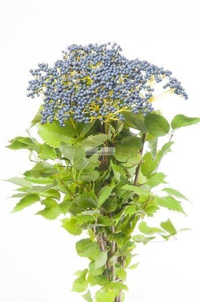 Kalina ząbkowana Blue Muffin ® Christom (Viburnum dilatatum)