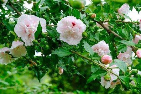 Ketmia syryjska China Chiffon 1 (Hibiscus syriacus)