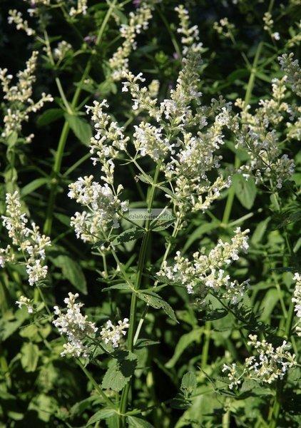 Kocimiętka Snowflake (Nepeta racemosa)