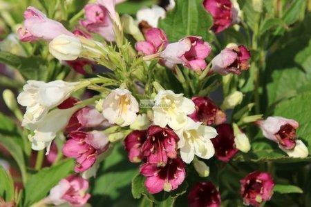 Krzewuszka cudowna Marjorie (Weigela florida)