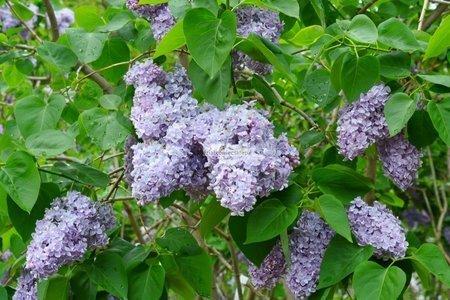 Lilak Aucubaefolia (Syringa vulgaris)