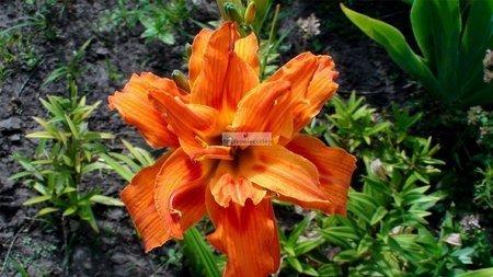 Liliowiec Apricot Beauty (1 szt. ) (Hemerocallis)