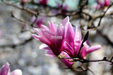 Magnolia Ann