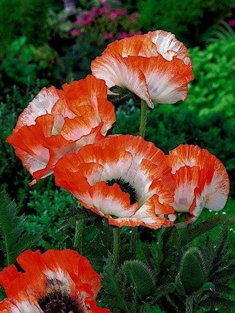Mak orientalny Orange Picotie (1 szt.) (papaver)