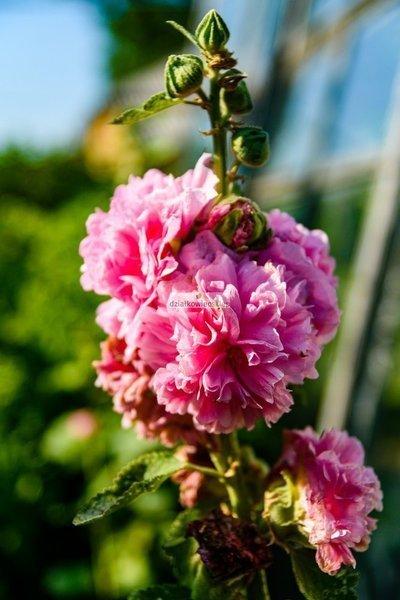 Malwa różowa (1 szt.) (alcea pink)