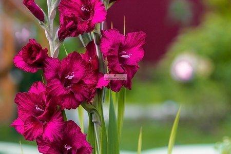 Mieczyk wielkokwiatowy Kazimir (5 szt.) (gladiolus)