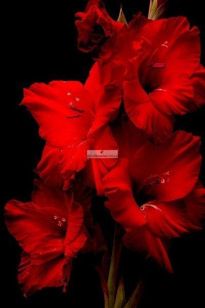 Mieczyk wielkokwiatowy Mascagni (5 szt.) (gladiolus)