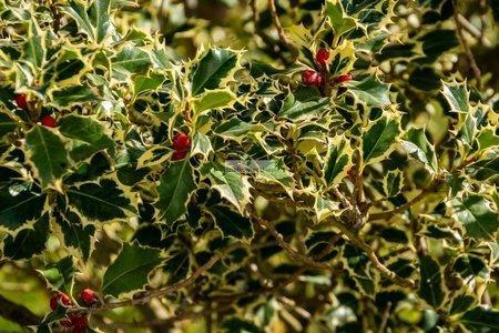 Ostrokrzew kolczasty Argentea Marginata (żeński) (Ilex aquifolium)