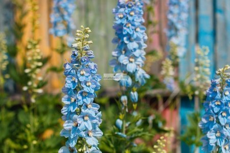 Ostróżka niebieska (1 szt.) (delphinium)