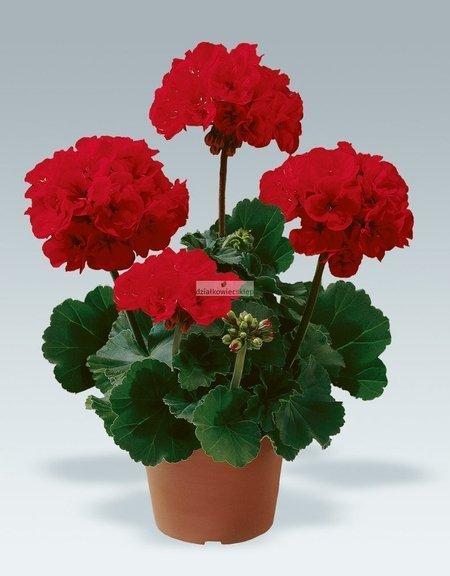 Pelargonia rabatowa czerwona (pelargonium zonale)