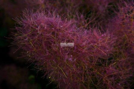 Perukowiec Foliis Purpureis (cotinus coggyria)