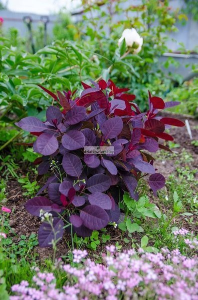 Perukowiec podolski Royal Purple (Cotinus coggygria)