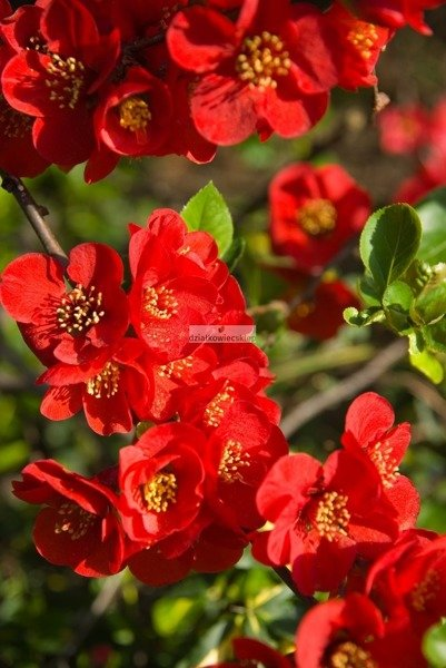 Pigwowiec pośredni Crimson and Gold (Chaenomeles ×superba)