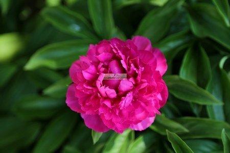 Piwonia Pink Supreme (Paeonia)
