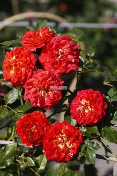 Róża mini-pnąca Starlet ® Carmen (rosa)