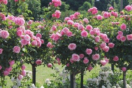 Róża okrywowa na pniu (różowa)