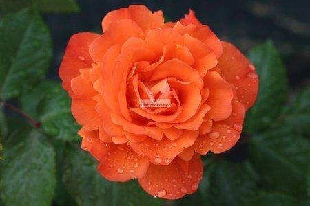 Róża parkowa Westerland ® (rosa)