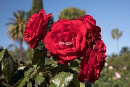 Róża rabatowa Europeana (rosa)