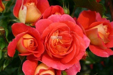 Róża rabatowa Gebruder Grimm ®