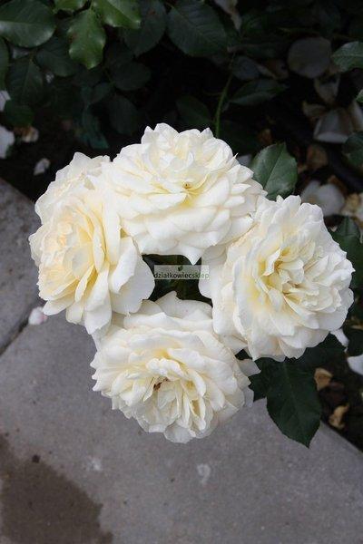 Róża rabatowa Marie Antoinette ® (rosa)