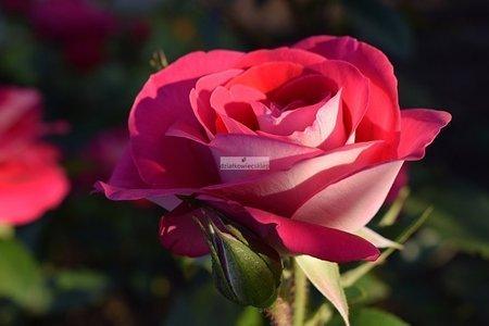 Róża wielkokwiatowa Heimatmelodie ® (rosa)