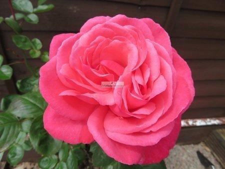 Róża wielkokwiatowa Magic Rokoko ® (rosa)