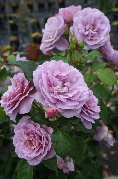 Róża wielkokwiatowa Sunflor Jagoda (Lady Perfume) ® (rosa)
