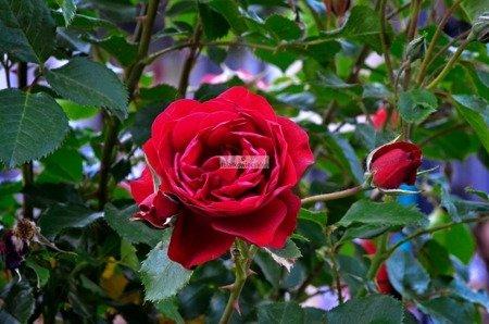 Róża wielkokwiatowa na pniu (czerwona)