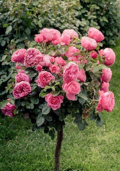 Róża wielkokwiatowa na pniu (różowa)